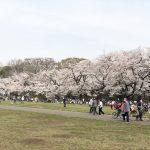 【桜満開】小金井公園へ家族で行ってきたよ♫